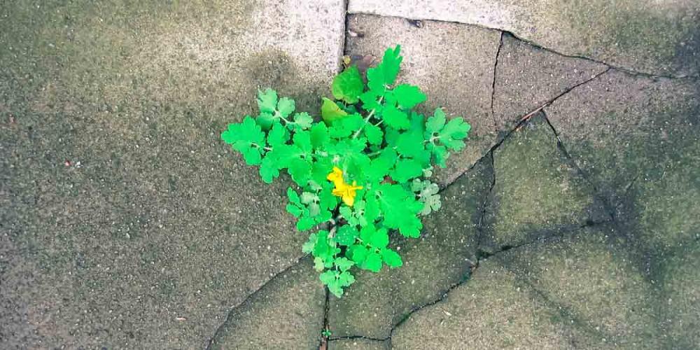 sidewalk-weed-horizontal