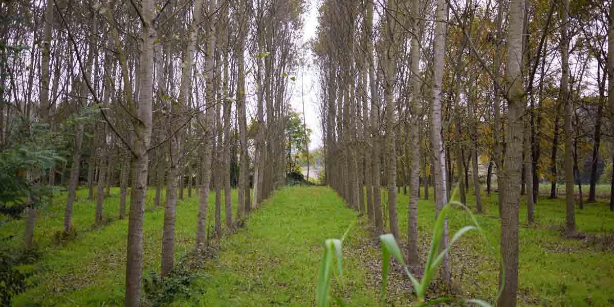 trees-in-italy-horizontal